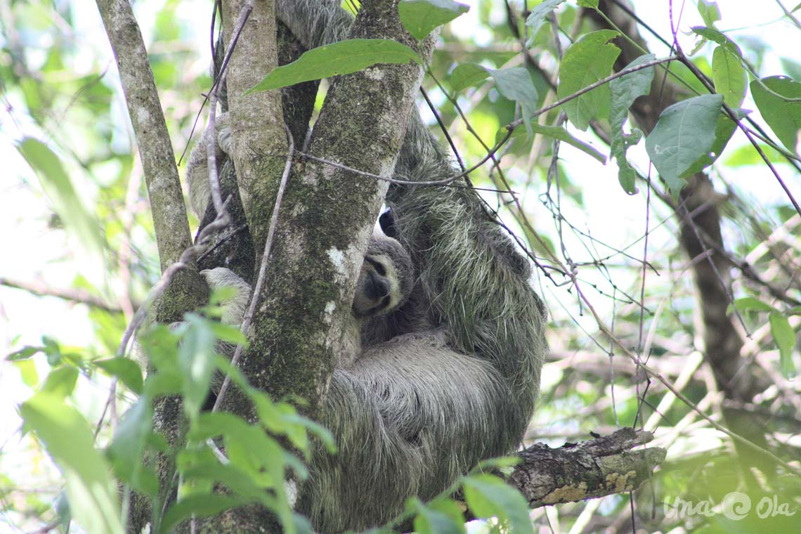 Sloth Baby in Tree